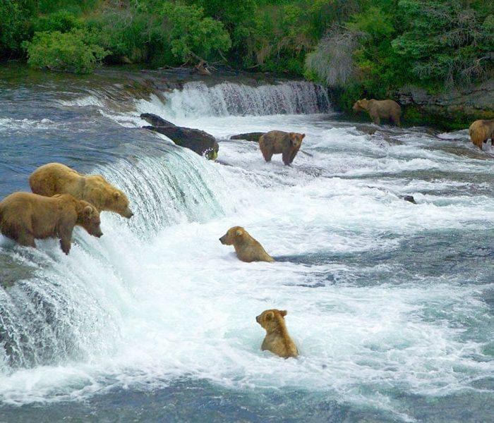 Ours du parc national de Katmai